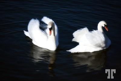 Swans on Rhine River