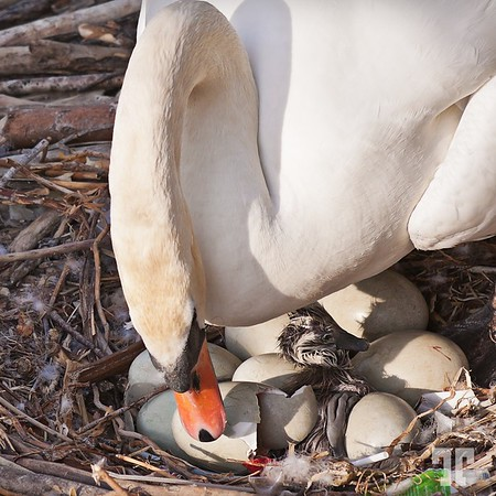 First baby for the mother swan :)  - and the first time I ever seen something like this - I was so lucky yesterday!!!