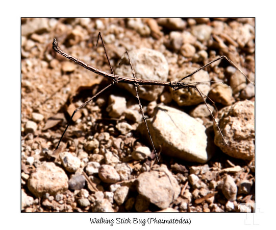May 11, 2012  Walking Stick Bug (Phasmatodea)  I took this photo in Panama few months ago, but haven't edited it until now.  It was a time consuming pp. to bring him out from the background (in the photo) - these guys are really looking like ordinary sticks, blending into the surrounding environment - the only thing that made me notice him, was his motion :)  I've never seen one before!  *** This is not a macro.