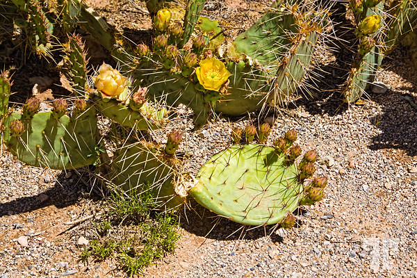 Cactus-flowers-around-Las-Vegas-3