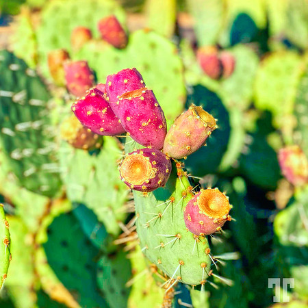 prickly-catus-fruit-green-valley-arizona-square