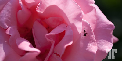 Pink rose in Spain (xx)