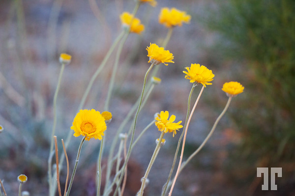 Yellow spring desert flowers