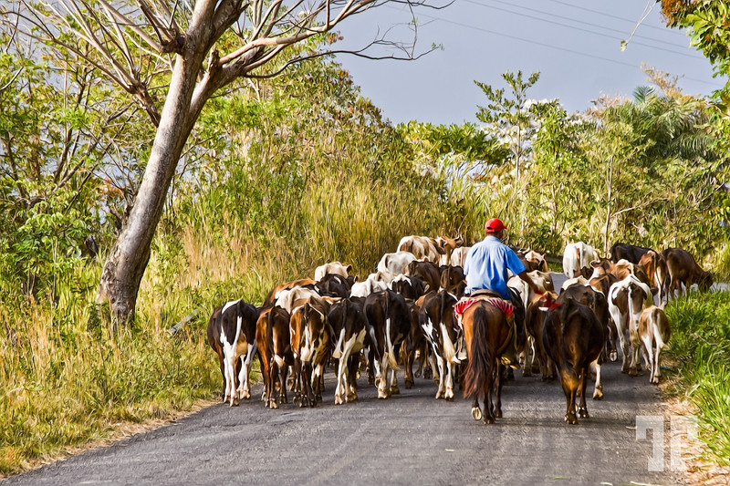 March 25, 2012  Busy road...  Going up in the mountains of Panama toward Santa Fe village, we had to wait about one hour behind this herd of cows who was going to the same place - it was a funny experience :)  We didn't have Internet connection, so I'm behind everything again...  We're getting close to the time of returning home and - uff, I hate to leave this fantastic place :(  PS: I used PixelBender to make it like a painting.  PS2: For those who asked about some explanation regarding the story in the picture from 2 days ago, unfortunately I will never know the answer.  (ZZ)