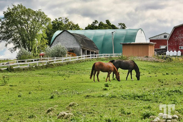 horses-grazing-canadian-farm-2