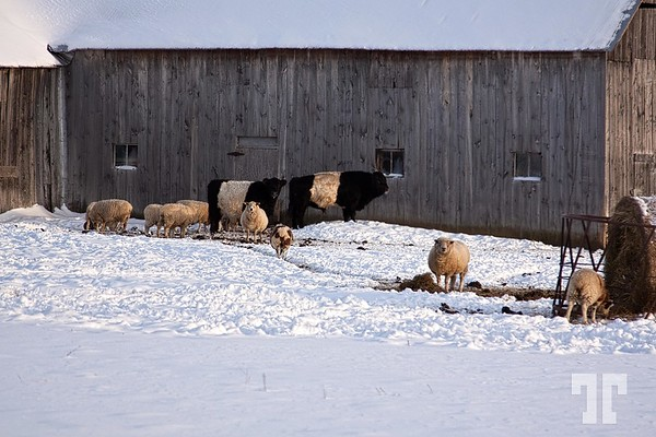 sheep-farm-ontario-7-gigapixel-scale-2_00x_Original_1