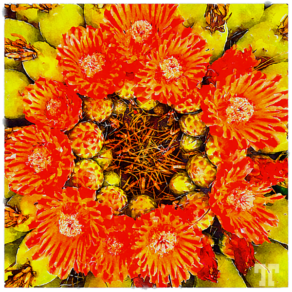 barrel-cactus-red-flowers-watercolorframed-transp2