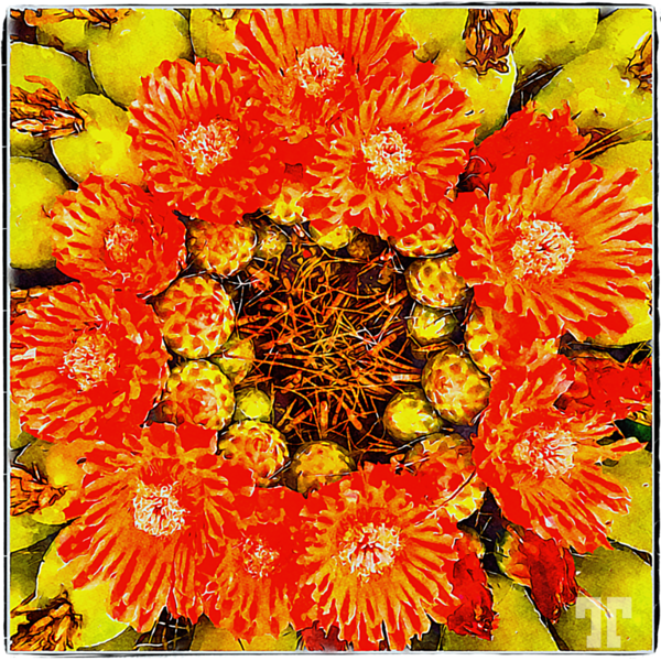 barrel-cactus-red-flowers-watercolorframed-transp-cropped