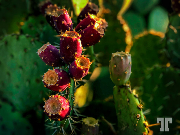 prickly-pear-cactus-fruits-arizona-au