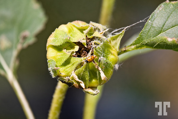 sunflower-bud-lucile-mavens-haven-garden-2