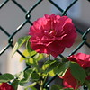 June 15, 2011<br /> <br /> Climbing rose (ZZ)<br /> <br /> - Fresh and straight from the camera from this morning :)