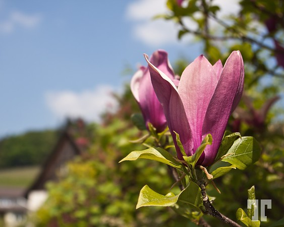 Pink Magnolia - Lake Constance, Germany