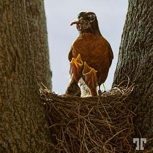 Mother Robin
