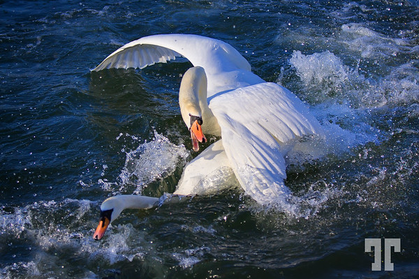 March 23, 2011<br /> <br /> Swans are not always gracious :)