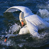 Swans are not always gracious :)