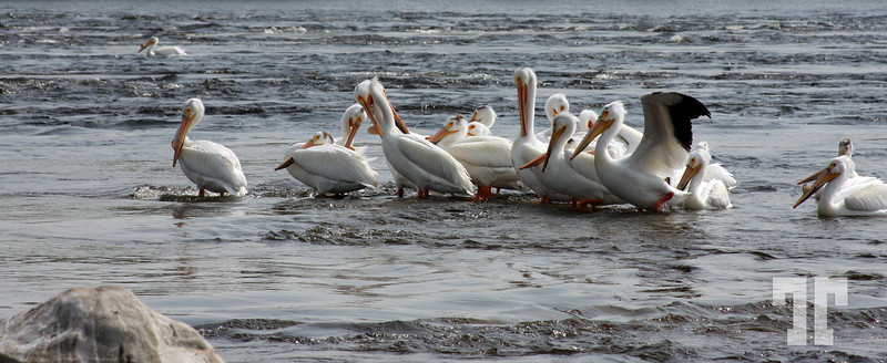 Row of pelicans on Rainy River, Ontario, Canada - June 02.2008 - Ontario Pictures