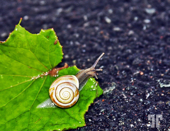 Snail in a rainy day in Gros Morne National Park, Newfoundland, Canada  (XX)