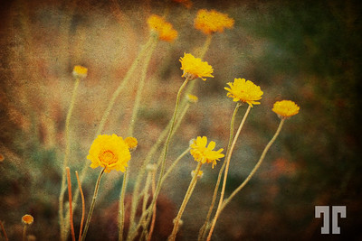 yellow-spring-desert-flowers