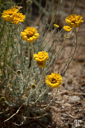 Yellow flowers in Dolan Springs