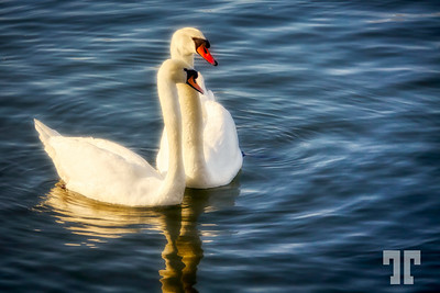 two-swans-floating-mod