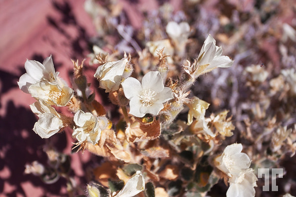 White desert flowers in the Valley of Fire State Park Nevada, Near Las Vegas
