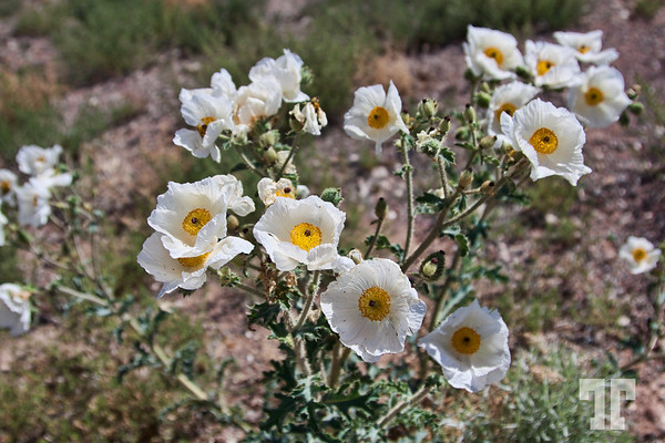 white-june-desert-flowers-nevada-2