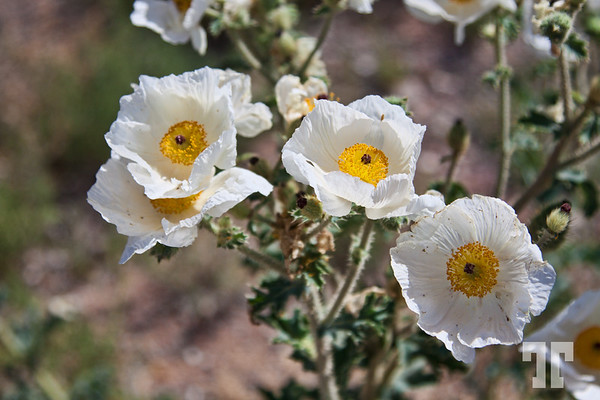 white-desert-flowers-nevada