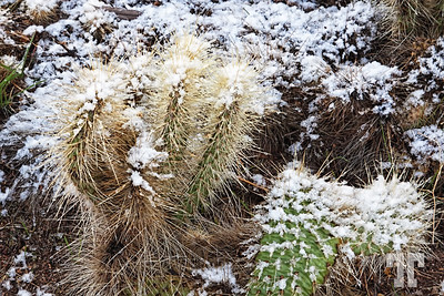 Snow on cacti - around Las Vegas tourist attractions in December :)