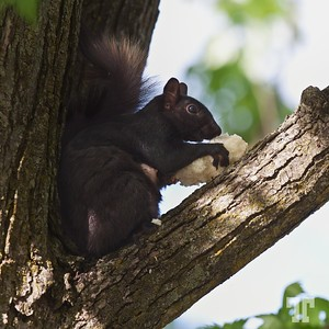 Mother Squirrel  The black squirrel is a melanistic subgroup of the Eastern Grey Squirrel. They are common in the Midwestern United States, Ontario, Quebec, and in parts of the Northeastern United States.