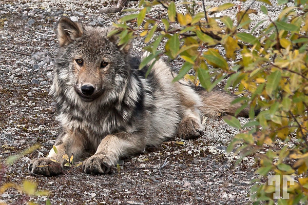 A nice dog?   No. This is a real wild wolf I've seen on Trans Labrador highway! :)