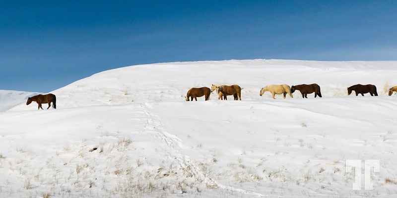 wild horses near Harlowton, Montana, winter
