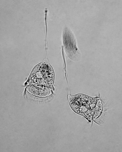 "<a href=""http://en.wikipedia.org/wiki/Vorticella"" target=""_blank""><i>Vorticella</i></a> (Linnaeus 1767) and the blur of a fast-moving ciliate protozoan. The <a href=""http://en.wikipedia.org/wiki/Myoneme"" target=""_blank"">spasmonemes</a> (stalks), constituted of protein filaments, contract faster than muscle when stimulated by calcium ions. Live specimen in aqueous mount prepared by the author. Köhler illumination, unstained.<br><span style=""font-size:75%"">©Yangchen Lin</span>"