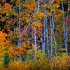 North Cascades Aspen Grove
