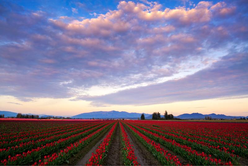 Skagit Valley Tulip Fields at Sunset