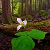 Lone Trillium in the Forest