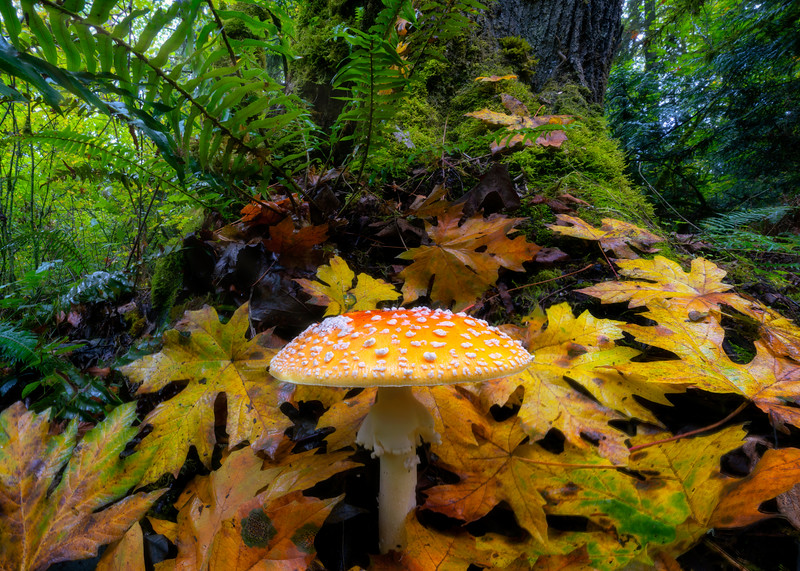 Amanita Muscaria of the Forest