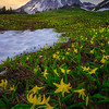 The Flow and the Way of the Glacier Lilies