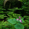 Trillium among the Ferns