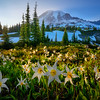 Last Rays of Light at the Avalanche Lily Fields