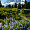 Happy Trail through the Lupine Fields