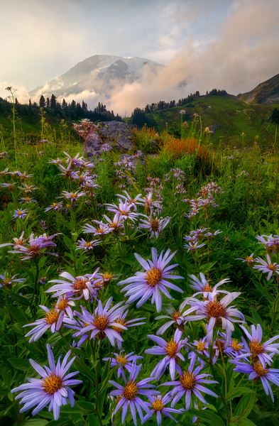 Asters in Paradise