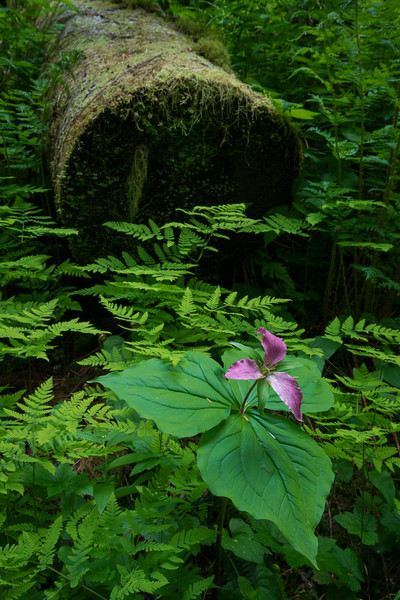 Trillium among the Ferns