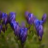 Mountain Bog Gentian Flowers