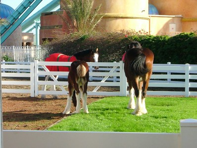 A new Clysesdale foal has arrived at the park, standing besides Mom