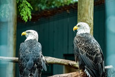 Eagle Ridge, Bald Eagles Busch Gardens - Williamsburg, Virginia