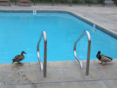 OK, this isn't Disneyland, it is my place in Tustin.  But a couple of ducks stopped by to say hello.
