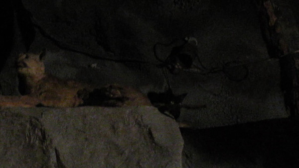 A Feral Cat decides to hang out in the Log Ride