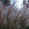 Grasses at RBG 2 Liz