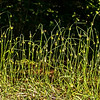 Wild Chives-Rolf