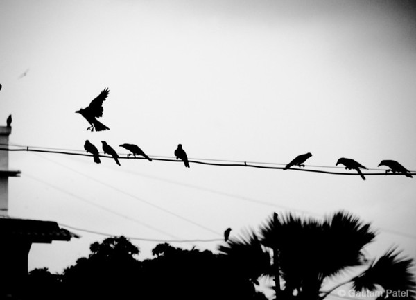 """03: """"A Parliament of crows"""" 3 June 2011 NIKON D90; 18-200 mm f/3.5-5.6; Center-weighted average; 1/400 sec at f/5.6; ISO-400;"""